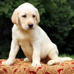yellow labrador puppy sitting on the table close up