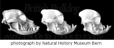 bulldog skulls over 50 years