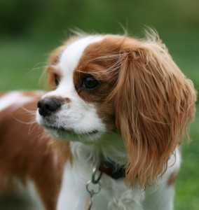 Pedigree dog health – how loss of genetic material can affect our puppies