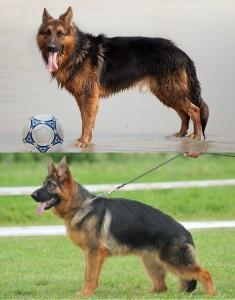 german shepherd dogs top line