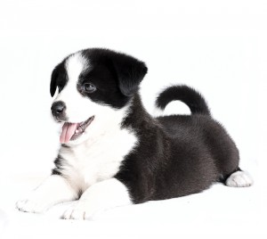 Puppy health: problems associated with conformation