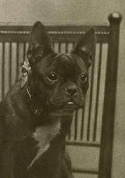 French bulldog 1905