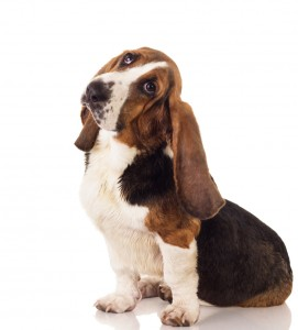 Puppy health: elbow dysplasia