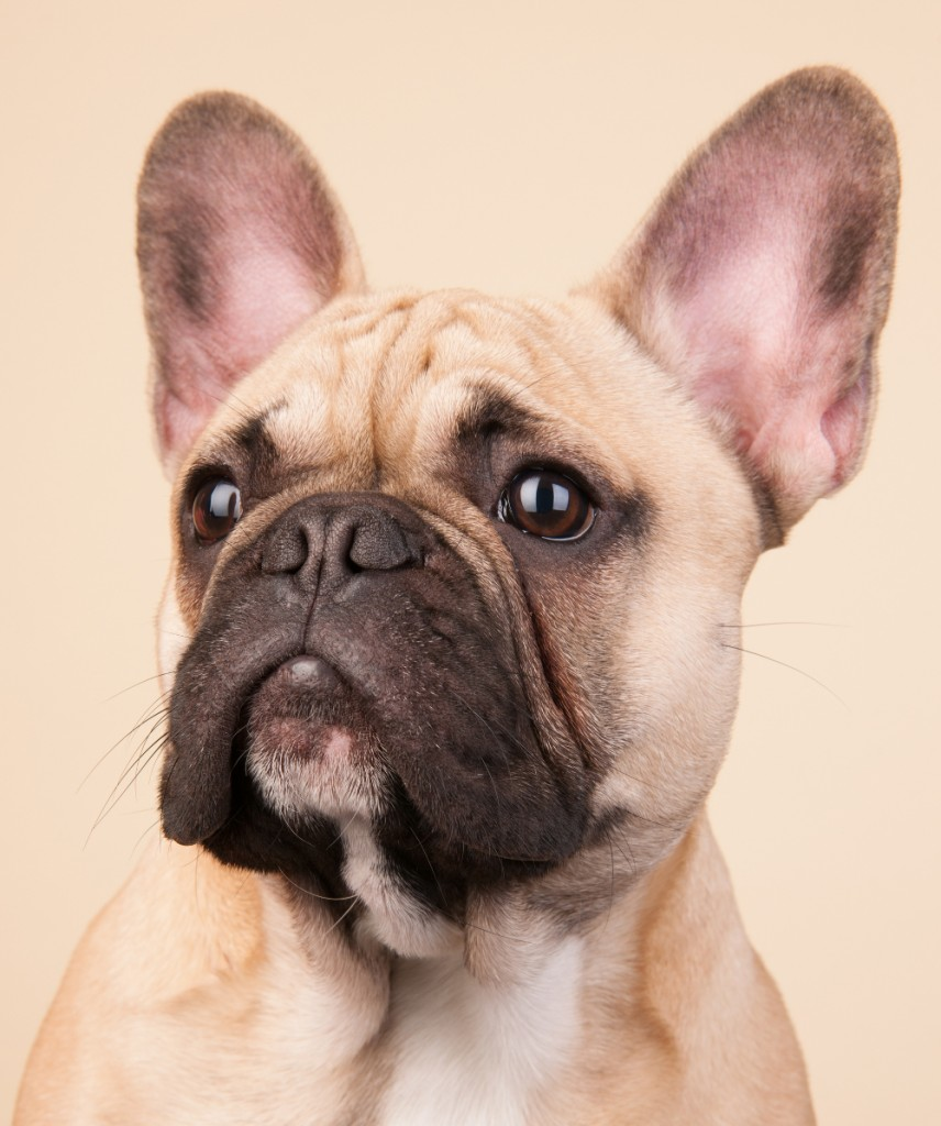A brown french bulldog