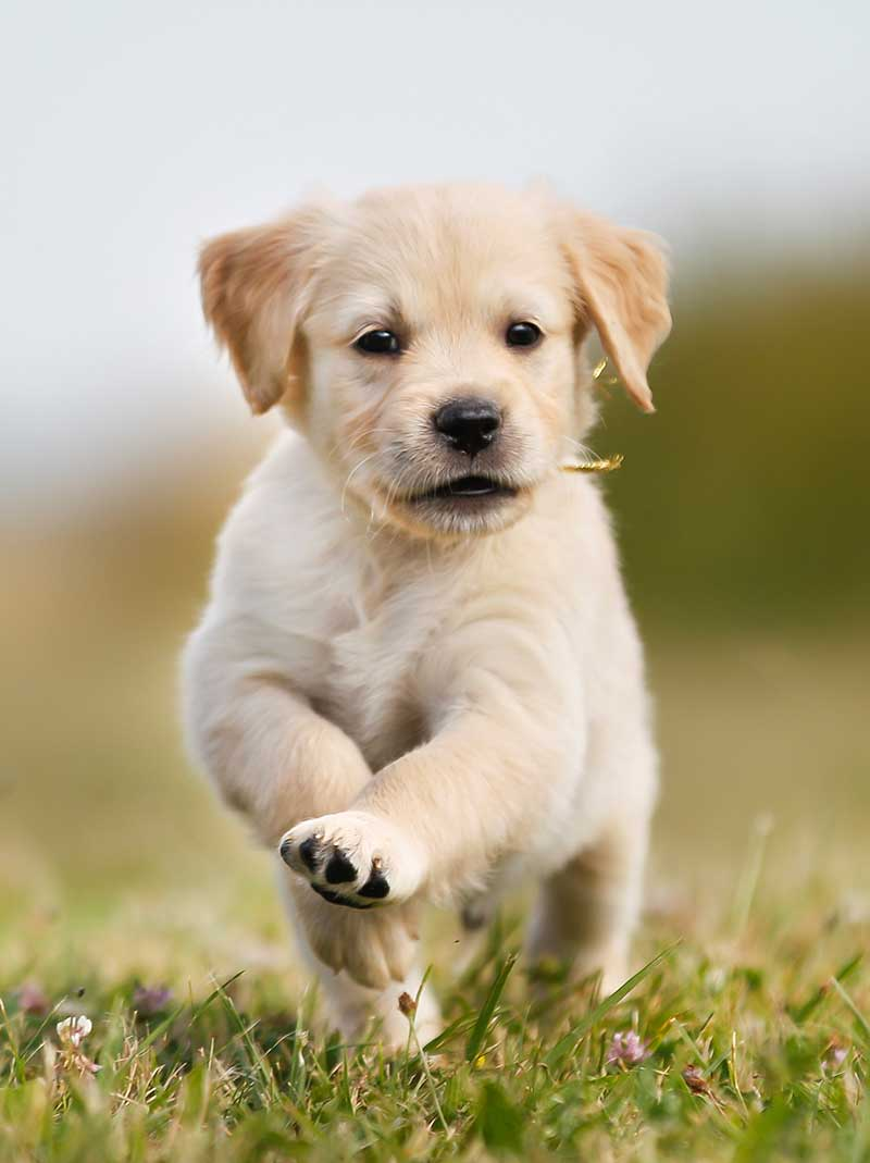 Golden Retriever - 7th most popular dog in the uk