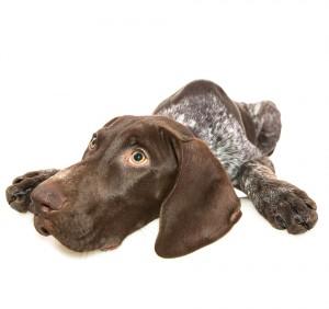 Puppy health: hip dysplasia