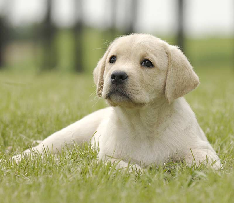 Labrador Retriever - Most popular dog in the UK for 2018