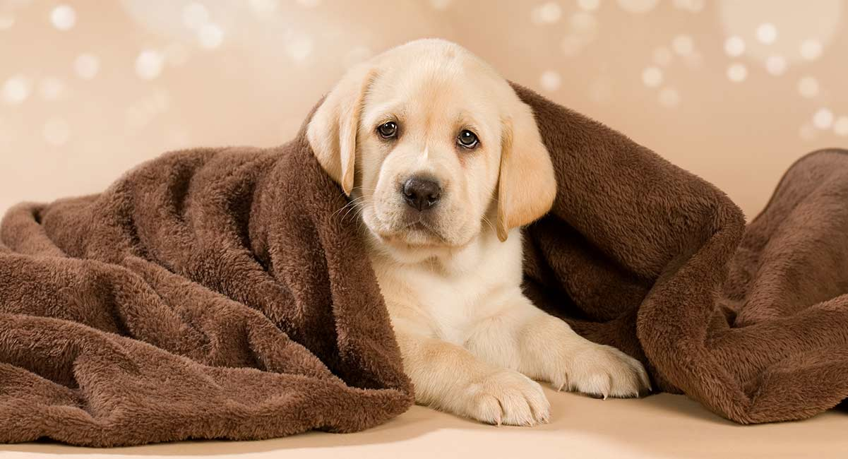 The Labrador Retriever - most popular british dog