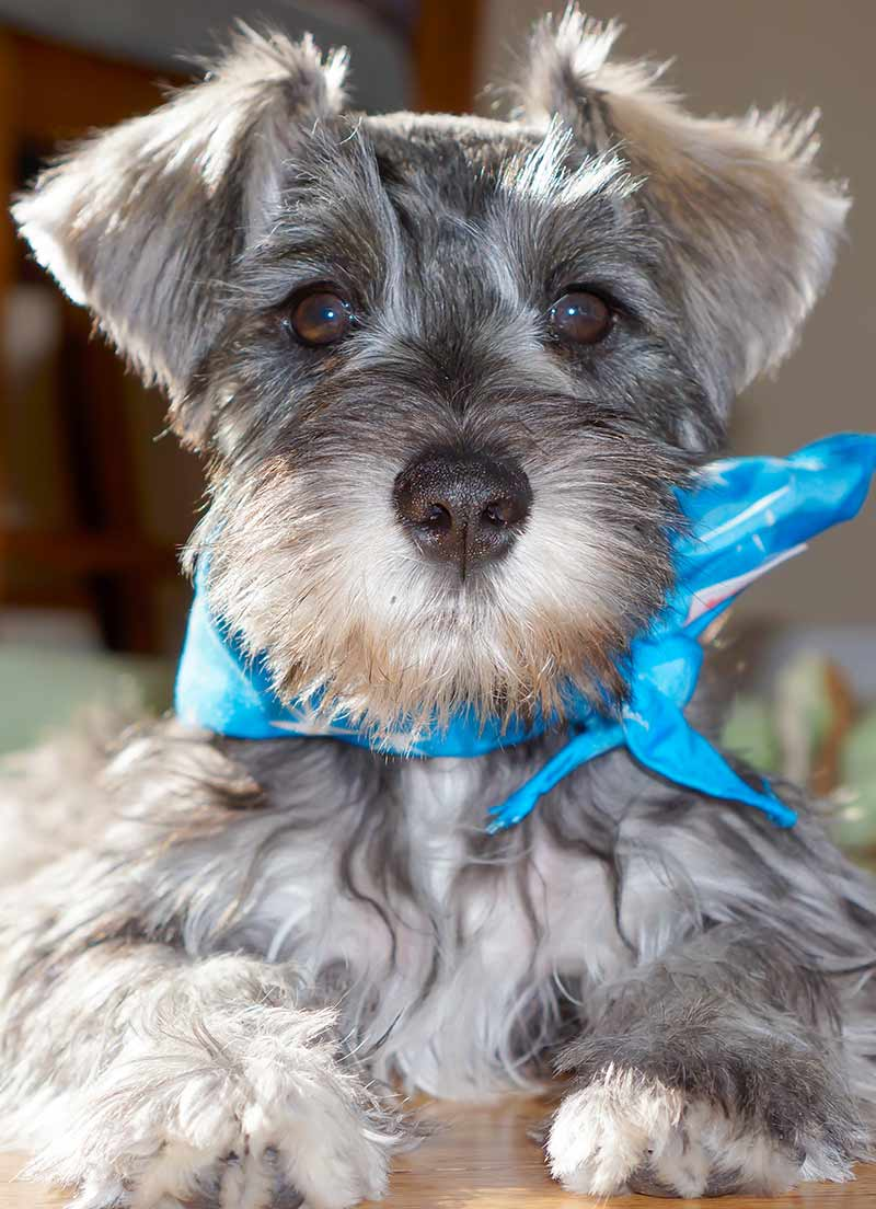 miniature schnauzer, tenth most popular dog in the UK