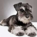 miniature schnauzer puppy five month old