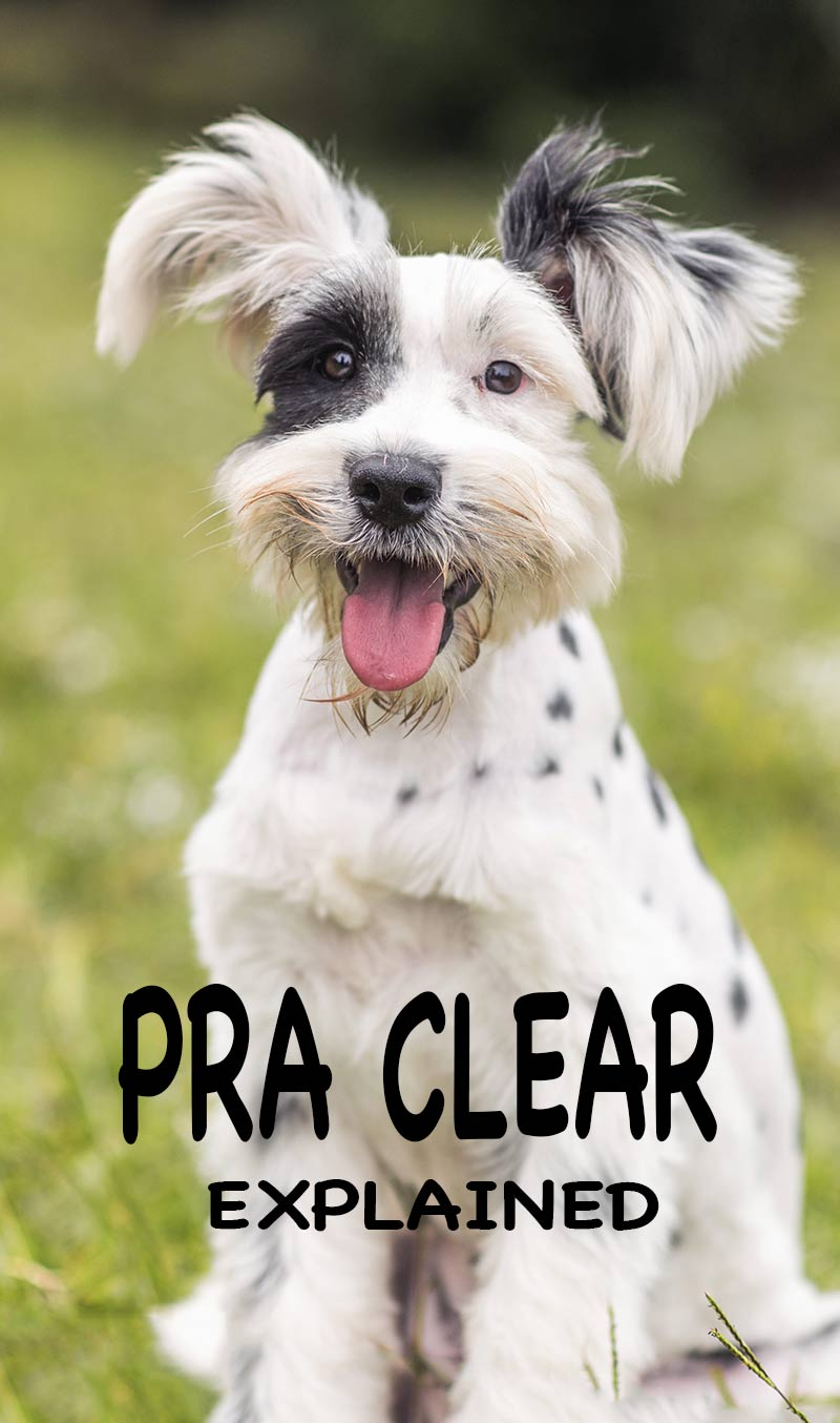 Everything you ever wanted to know about PRA. What is PRA, what does PRA clear mean, what are the symptoms and can PRA be cured