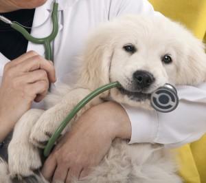 Puppy health: haemophilia