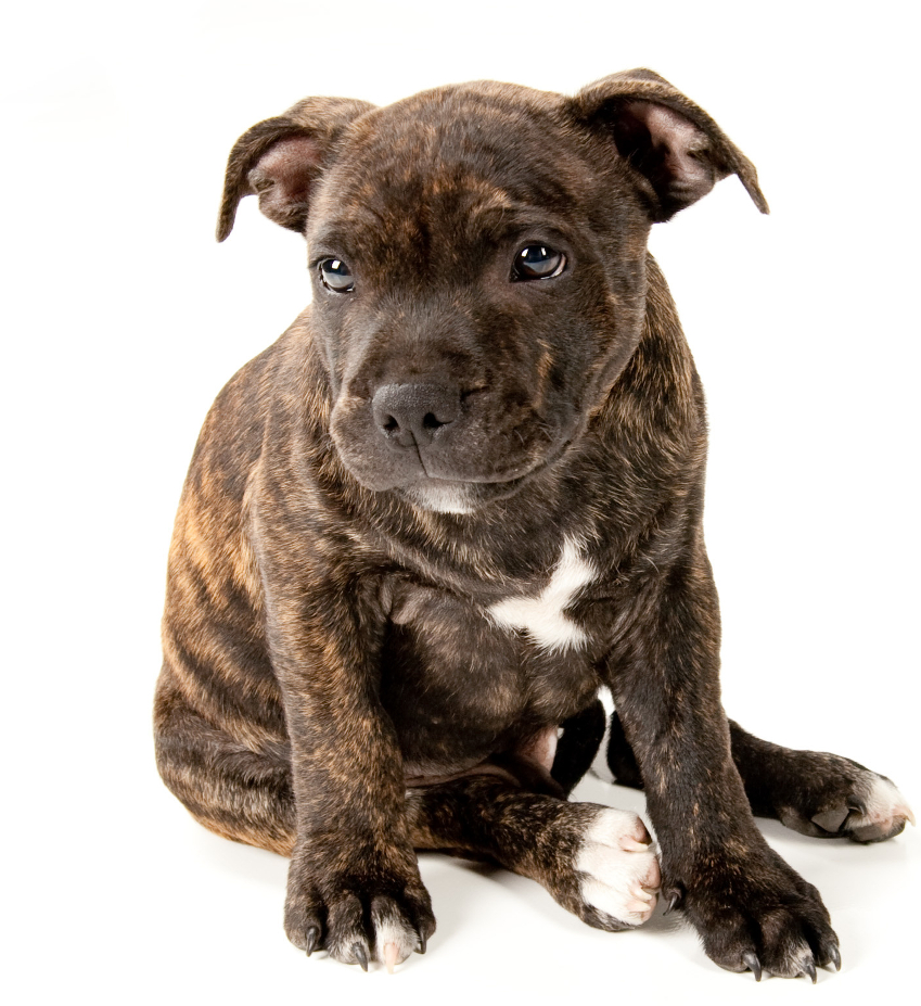 Selection Of Staffordshire Bull Terrier Staffordshire Bull ...