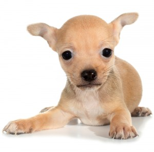 puppy search resource the toy group of dogs
