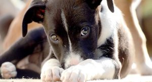 What Is PRA And What Does PRA Clear Mean For Your Puppy