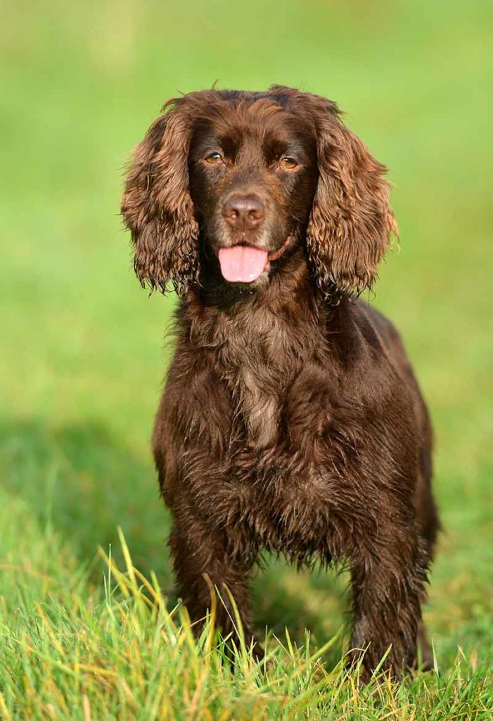 Working Cocker Spaniel - 3rd most popular dog in the UK