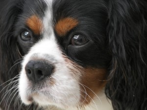 Syringomyelia and the Cavalier King Charles Spaniel