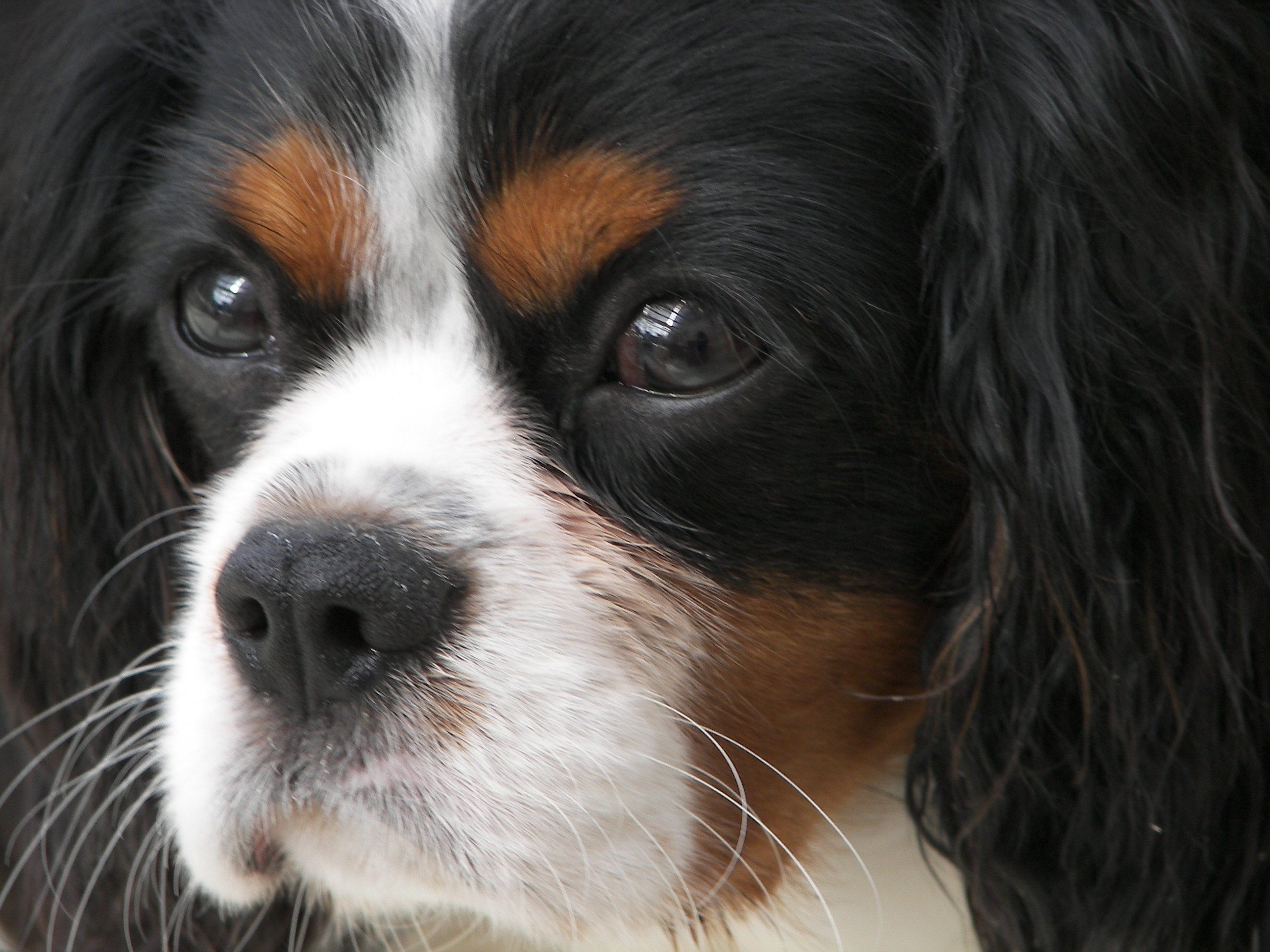 Dogs That Look Like Cavalier King Charles