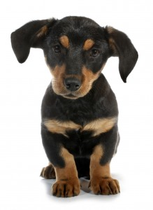 Puppy Search 5: pedigree or mutt – are mongrels healthier?