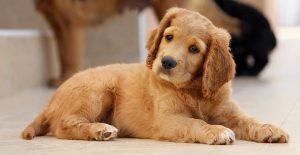 Puppy Search – A Step By Step Guide To The Puppy Of Your Dreams