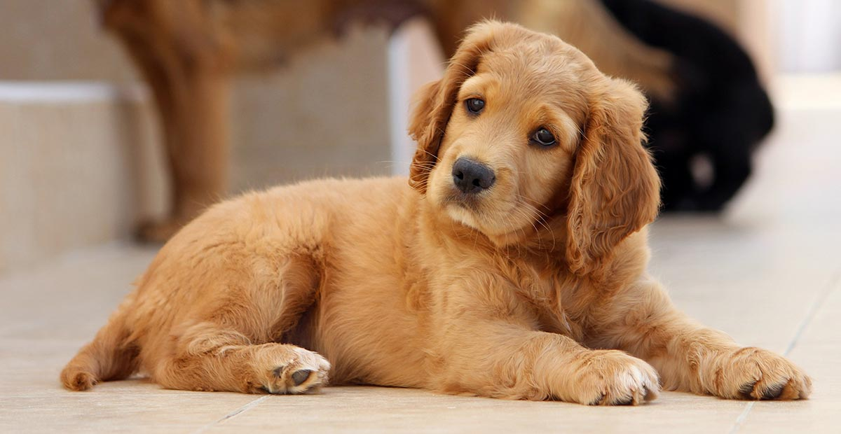Puppy Search - find your perfect puppy with this complete guide