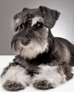 Which breed of puppy: Looking at Miniature Schnauzers