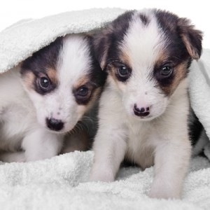 litter of two puppies mestizo in blanket. animals isolated on white background