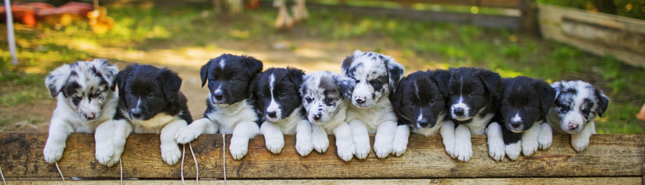 cattle dog breeds