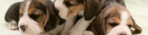 Puppy Search Resource: the Hound Group of Dogs