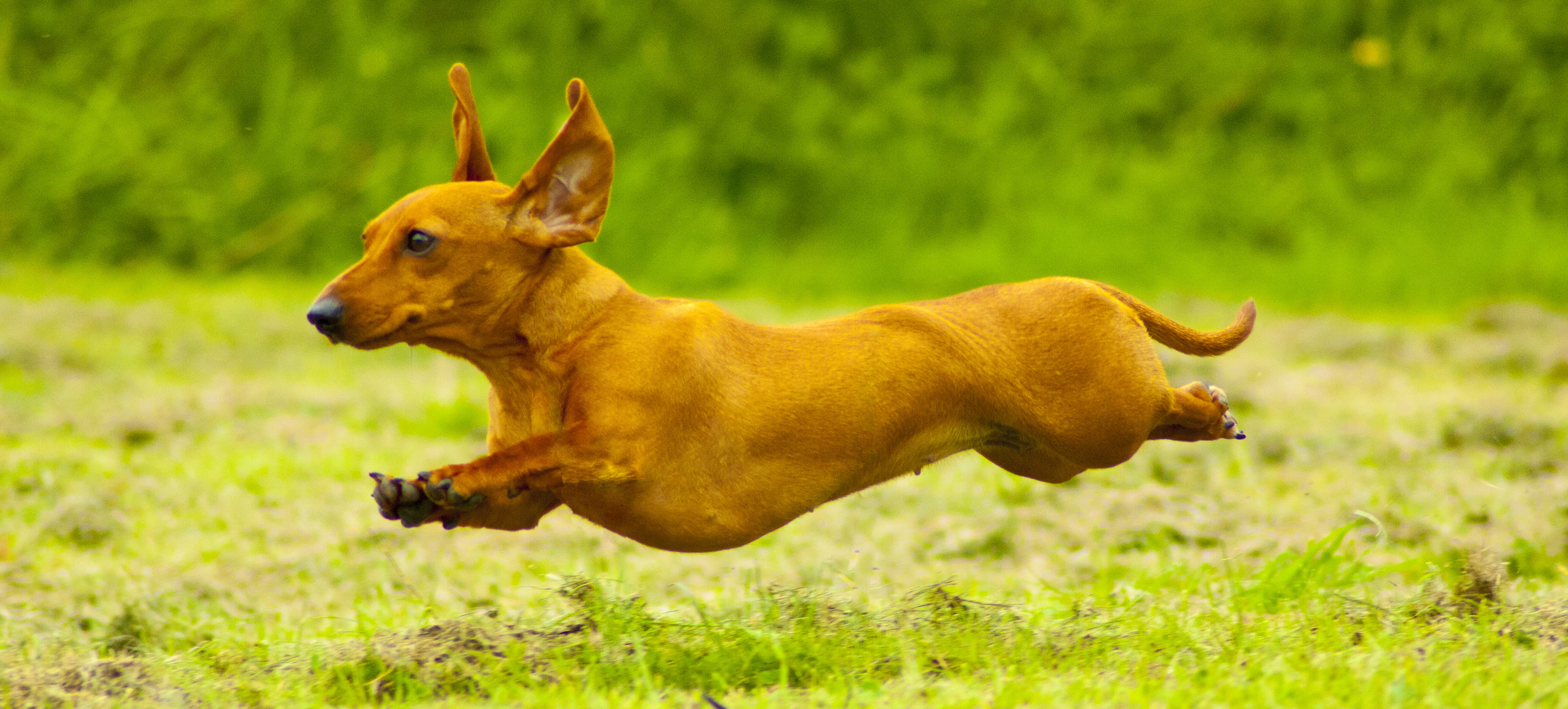 which breed of puppy looking at dachshunds   the happy