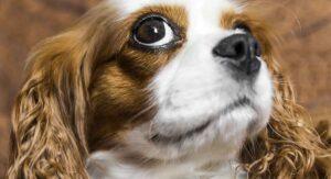 Cavalier King Charles Spaniel Dog Breed Information Center