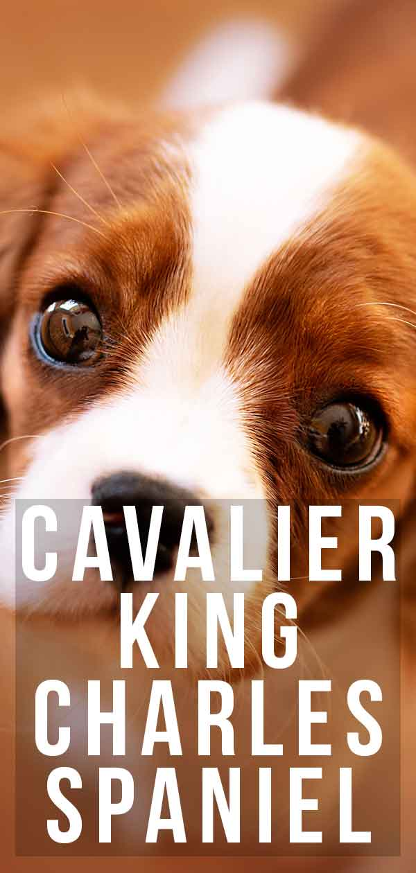 Cavalier King Charles Spaniel Dog Breed Information Center