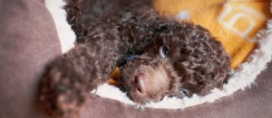 How to Choose a Puppy Bed