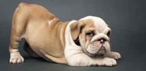 Puppy Health: Screw Tails And Hemivertebrae
