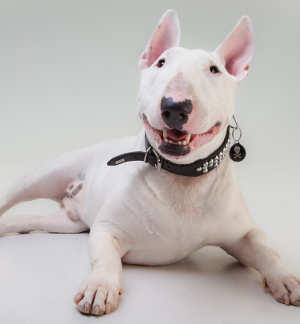 Bull Terrier face