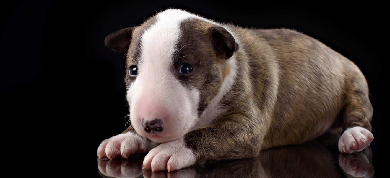Which Breed: The Bull Terrier