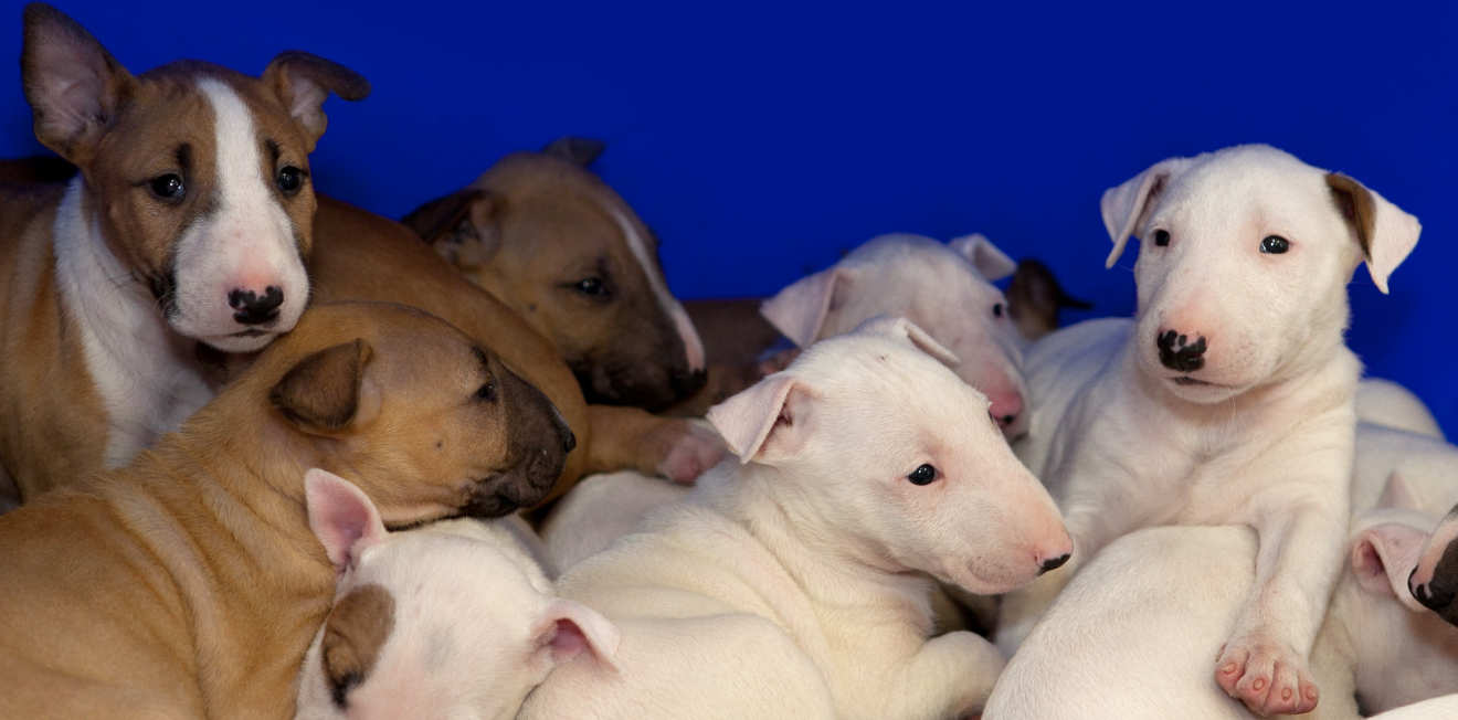 White and brown bull terrier puppies laying on the blanket