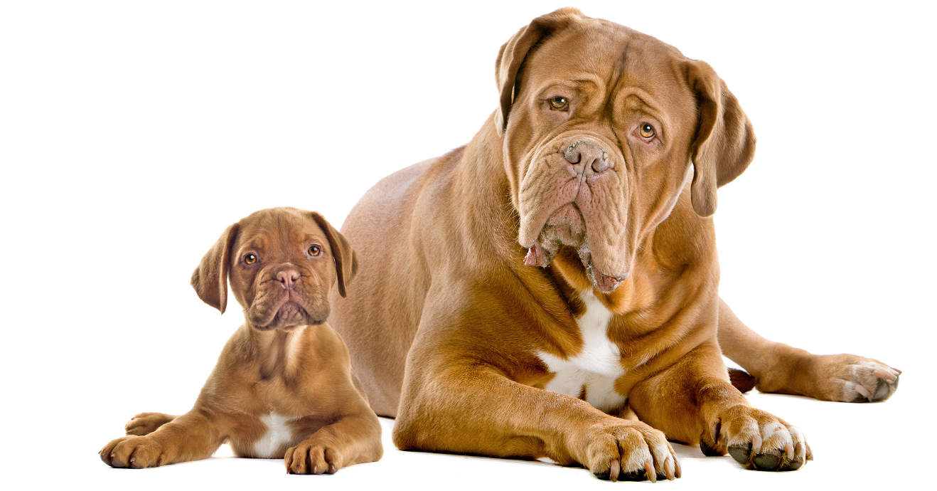 dogue mum and pup