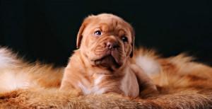 The Dogue de Bordeaux