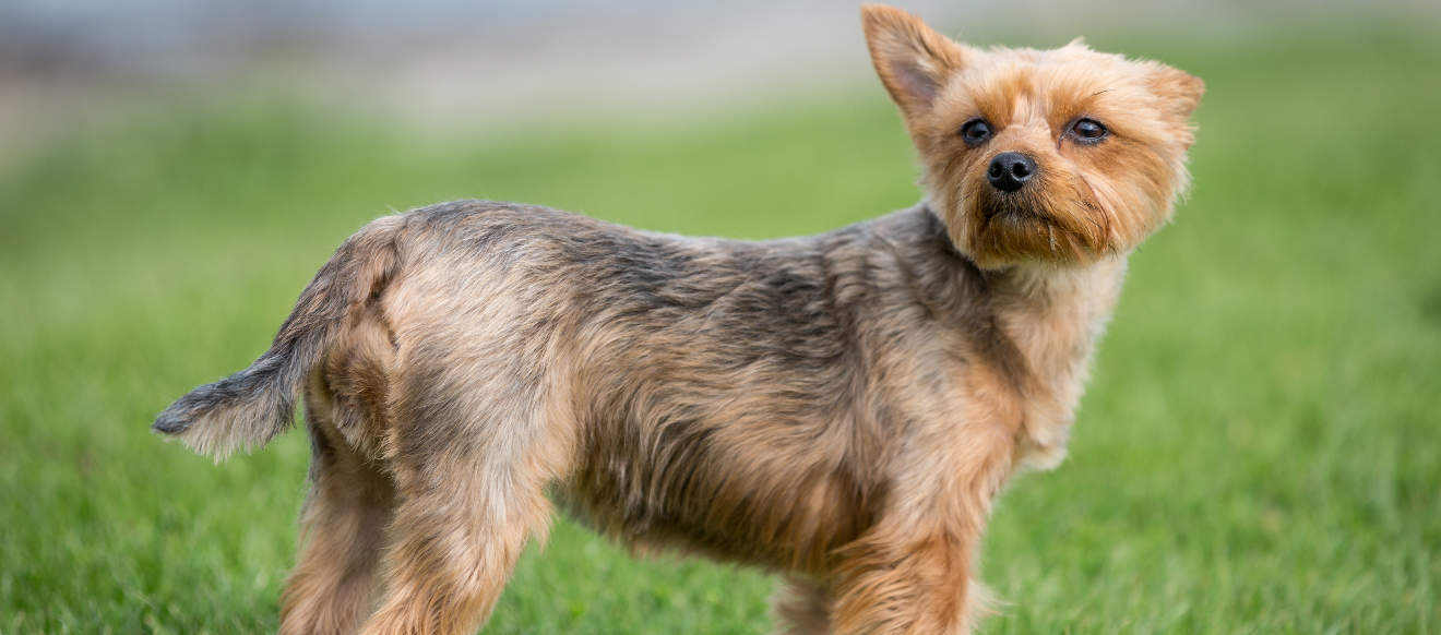 Which breed of puppy the yorkshire terrier for Different types of puppies breeds