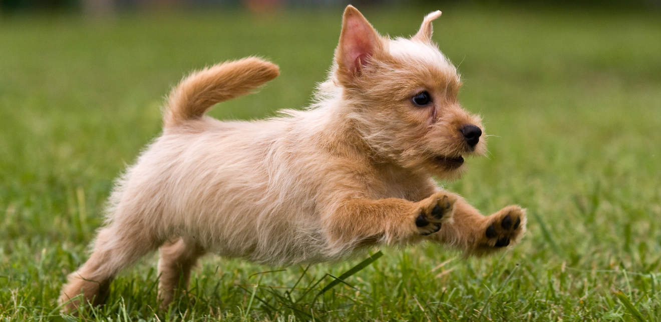 Terrier puppy jumping on the green grass