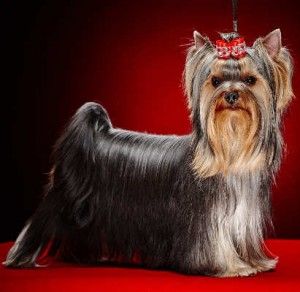 A Show Bred Yorkshire Terrier