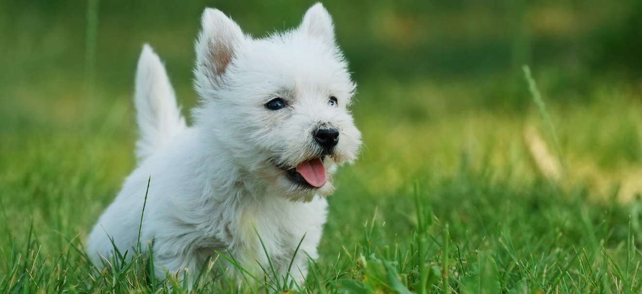 White Cairn Terrier Puppy Which breed of Puppy: ...
