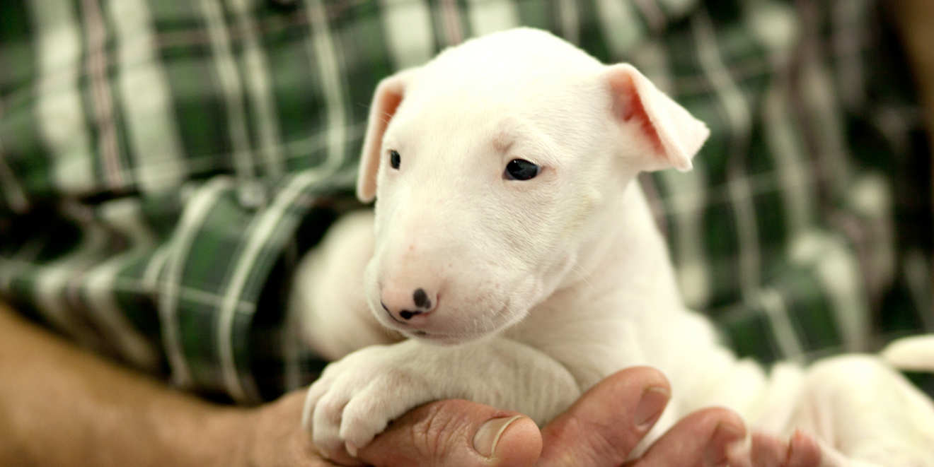 Cute bull terrier puppy restin on old man's arms