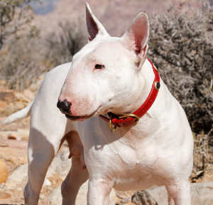 white bull terrier outside