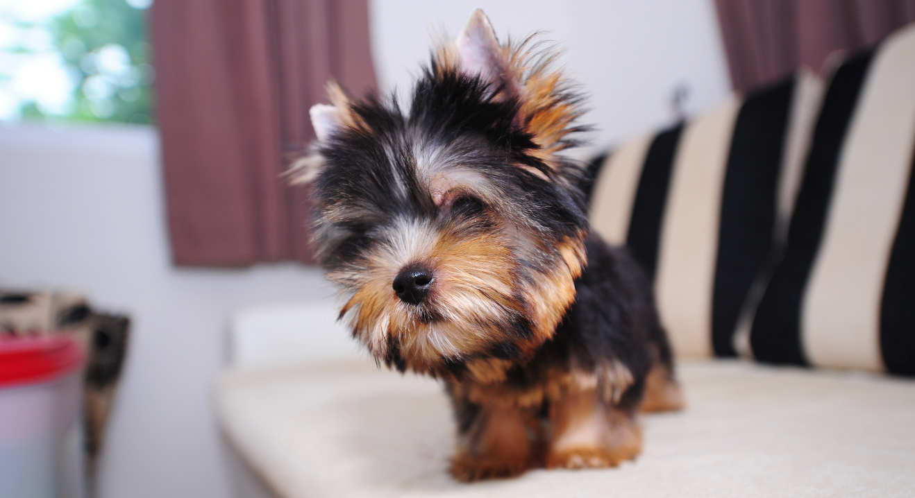 yorkie terrier pictures which breed of puppy the yorkshire terrier 4788