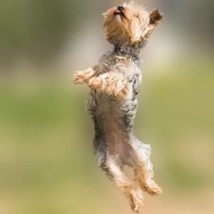 yorkie jump