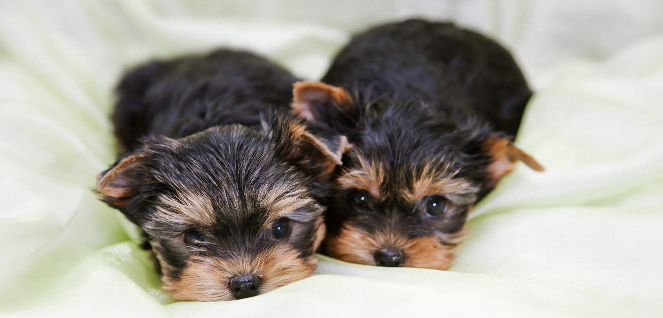 Dogs Puppies Yorkie