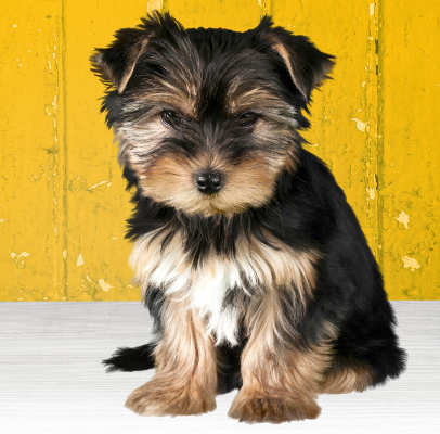 yorkie adult which breed of puppy the yorkshire terrier 3549