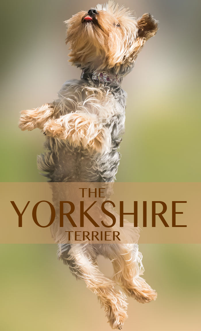 A complete review of the lovely Yorkshire Terrier. Find out if this is the breed for you